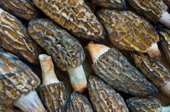 Many morel mushrooms interlocked as a background. Morel mushrooms put together like a jigsaw puzzle to form a background Stock Photography