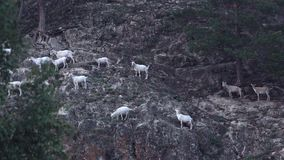 Many mountain goats are on the mountain stock video footage