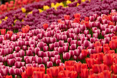 Many multi-colored tulips. Field of tulips in different colors Stock Photography