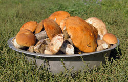 Many mushrooms in a bowl Stock Image
