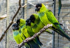Many Nanday parakeets sitting close together on a branch in the aviary, Colorful and tropical small parrots from America. Many Nanday parakeets sitting close royalty free stock image