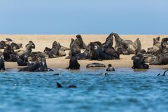 Many wild eared seals otariidae on sandy coast in Namibia, blue water. Many natural wild eared seals otariidae on sandy coast in Namibia, blue water royalty free stock photos