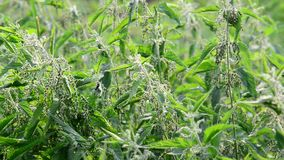 Many of nettle with seeds stock video footage