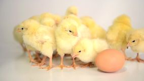 Many newborn chickens Royalty Free Stock Image