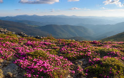 Many nice pink rhododendrons on the mountains. Royalty Free Stock Image