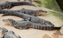 Many Nile crocodiles Stock Photos