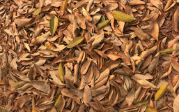 Many old leaves background in the summer Royalty Free Stock Image
