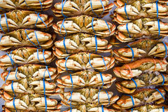 Many orange crabs at market with blue rubber bands on claws. A large number of crabs sit in line at a market with blue rubber bands holding their claws together Stock Images
