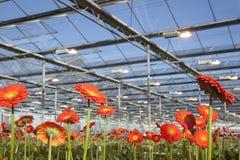 Many orange flowers in dutch greenhouse Stock Photos