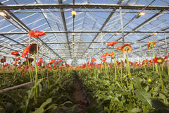 Many orange flowers in dutch greenhouse Stock Photography