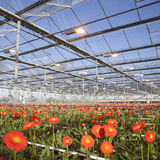 Many orange flowers in dutch greenhouse Stock Images