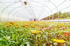 Many orange flowers in the greenhouse. The production and cultivation of flowers. Huge plantation of Gazania.  royalty free stock images