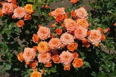 Many orange flowers of rose. In June stock photos