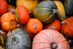Many orange pumpkin. Harvest orange pumpkins in the village Royalty Free Stock Image