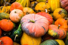 Many orange pumpkin. Harvest orange pumpkins in the village Royalty Free Stock Images