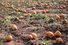 Many orange pumpkins on a field usable for a soup or Halloween. stock photos