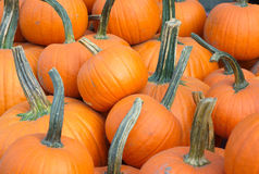 Many orange pumpkins full view for halloween or thanksgiving Royalty Free Stock Photography