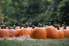 Many orange pumpkins in a grass field. Near Haloween holiday Royalty Free Stock Image
