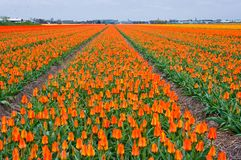So many orange tulips Stock Image