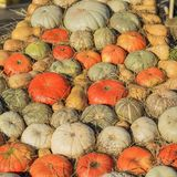 Many organic natural ripe pumpkins lit by the autumn sun, on dry straw. Rustic background. Harvest concept. Symbol of Stock Images