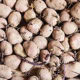 Many organic seed potatoes Stock Images