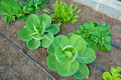 Organic vegetable uses drip irrigation system. Many organic vegetable, strong, green Royalty Free Stock Images