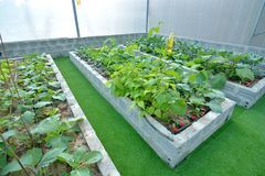 Organic vegetable uses drip irrigation system. Many organic vegetable, strong, green Royalty Free Stock Photography
