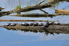 Many painted turtles sunning on a log Stock Image