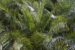 Background -  many green palm leaves. Many palm fronds form a format-filling background Royalty Free Stock Photo