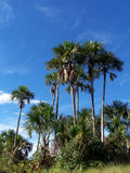 Many palm trees. Many buriti palm trees and a blue sky Stock Photo