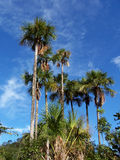 Many palm trees. Many buriti palm trees and a blue sky Stock Images