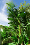 Many Palm trees and blue sky Stock Image