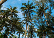 Many palm trees and blue sky Stock Photo