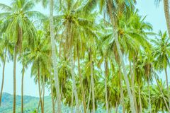 Many palm trees in rows royalty free stock images