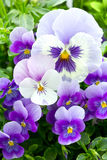 Many pansy flowers Stock Images