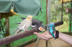 Many parakeets with different colors eating seeds on a hand Royalty Free Stock Image