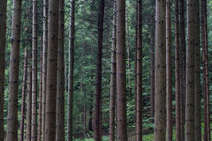 Many parallel tree stems in a green forest Royalty Free Stock Images