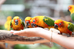 Many of parrot is eating foods. Stock Photography
