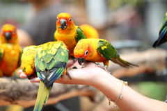 Many of parrot is eating foods. Royalty Free Stock Image