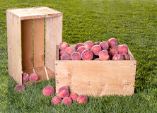 Many peaches in wooden crate Royalty Free Stock Photography