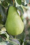 Many pear with branch Royalty Free Stock Photos