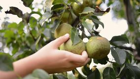 Many pear fruit picking stock video