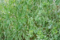 Many peas. Growing in spring Royalty Free Stock Photography
