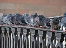 Many pegions on embankment Stock Photography