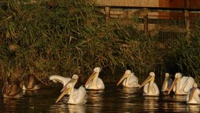 Many pelicans on water stock footage