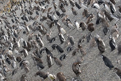 Many penguins near Ushuaia. Stock Photo