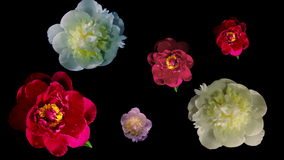 Many Peony Flowering Timelapse 4k stock footage