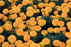 Many perfect marigold flowers Royalty Free Stock Photography