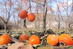 Persimmon orchard Royalty Free Stock Photography