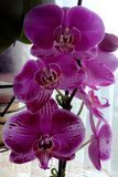 Many petals of purple orchid. stock photography